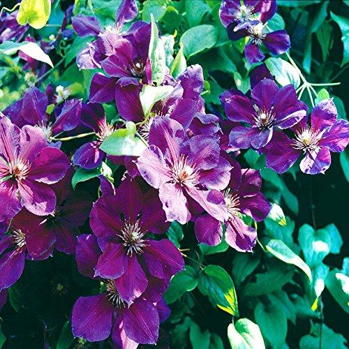 Clematis Jackmanii (Clematis Jackmanii Superba - 1 pflanze)