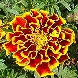 50pcs / bag Flieder Syringa Vulgaris Blumensamen Erstaunlicher Garten Bonsai Pflanze Baum Blumensamen