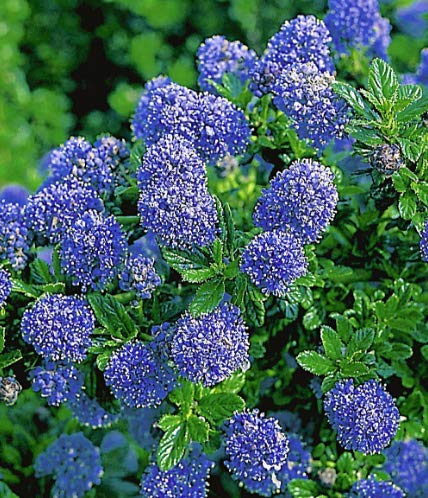 Winterhart duftend Blühende