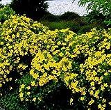 Fünffingerstrauch-Hecke. 10 Pflanzen - zu dem Artikel bekommen Sie gratis ein Paar Handschuhe für die Gartenarbeit dazu