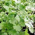 1000 Samen Koriander – Coriandrum sativum, vielseitig verwendbar von Samenfritze bei Du und dein Garten
