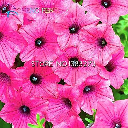 Pinkdose free shipping morning glory piante 100pcs giardino fiori casa bonsai balcone fiori petunia piante colorate plantas pentole: borgogna