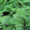 Staudenkulturen Wauschkuhn Dryopteris affinis - Goldschuppenfarn - Farn im 9cm Topf von Staudenkulturen Wauschkuhn bei Du und dein Garten