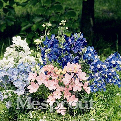 Rare Semi fiore rosa + blu Delphinium grandiflorum Sementi Sementi balcone in vaso dei fiori per giardino domestico di DIY-50PCS - Delphinium Vaso