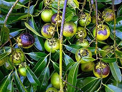 Diospyros digyna BLACK SAPOTE Persimmon Schokoladenpudding Fruit 5 Samen RARE