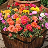 #9: Oliver Seed Moss Rose Double Mix Portulaca Grandiflora(100 Seed)