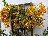 Rare Climbing Yellow Bougainvillea Spectabilis live plant Double flower Bougainvillea 1 Healthy Live Plant