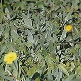 Blumixx Stauden Hieracium pilosella