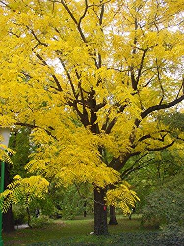 black-walnut-tree-juglans-nigra-stunning-autumn-colours-edible-fruit-wildlife-tree-fresh-seedling-pl