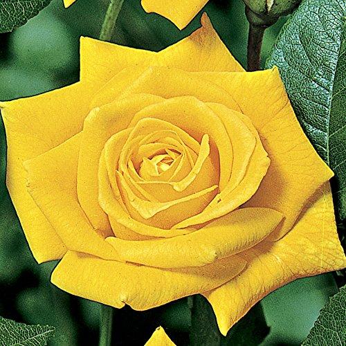 sunsilk-hybrid-tea-rose-1-bare-root-plant-yellow