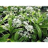 Plant / Bulbes AIL DES OURS fleur vivace