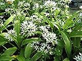 Plant AIL DES OURS fleur vivace