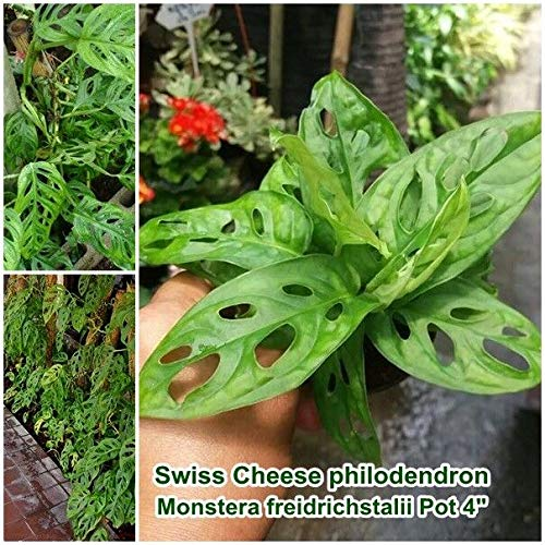 Generic Seeds: Schweizer Käse Samen Monstera obliqua Expilata aka Indoor Houseseeds Pot