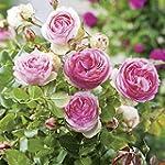 Strauchrose Eden Rose® Rosen-Blüten z...