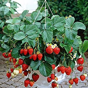 dominik blumen und pflanzen erdbeer ampel 5 teiliges komplett set aus ampel 3 pflanzen und. Black Bedroom Furniture Sets. Home Design Ideas