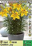 ANGEBOT : Lilium asiatic - Asiatische Lilie