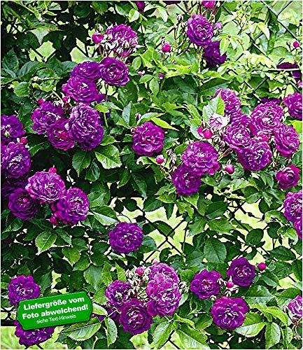 BALDUR-Garten Rambler-Rosen 'Bleu Magenta', 1 Pflanze Kletterrose winterhart mehrjährige Kletterpflanze