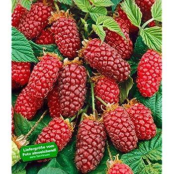Prächtig BALDUR-Garten Tayberry Taybeere Beerenpflanzen Kreuzung aus @YD_36