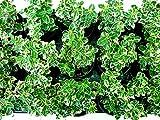 Bodendecker - Euonymus fortunei & microphyllus - Große Auswahl - im 0,5Ltr. Topf (Euonymus fortunei Emerald Gaiety)