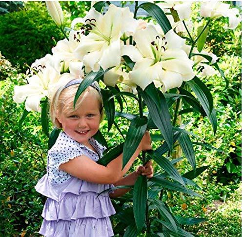 Anitra Perkins - 50/100 Stück Garten Tree-Lily Riesen Blumensamen Saatgut mehrjährig Baumlilien Lilium Hybride Lilien Zwiebeln winterhart duftend (100)