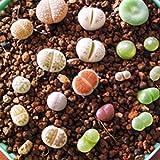 Masterein 100 pcs / Sac Belle Lithops Graines Plantes Graines pour Maison Jardin Décor Plantes Graines