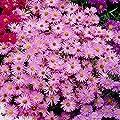 Grüner Garten Shop Staude Aster dumosus - Kissenaster, rosa, 5 Stauden im Set, je im 0,5 Liter Topf von Grüner Garten Shop - Du und dein Garten