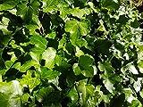 Kletterpflanze Hedera - Efeu 60-100cm im 2L Topf gewachsen