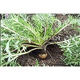Nueva Home Garden Plant 30 semillas Semillas de Maca, el ginseng peruano, peruano envío super alimentos orgánicos libres