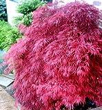 Future Exotics Bestseller Acer palmatum Atropurpureum PINK ROSA Fächer Ahorn 40-50 cm