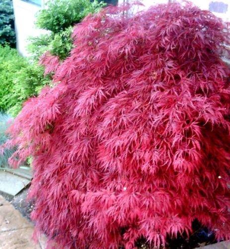 Future Exotics Bestseller Acer palmatum Atropurpureum PINK ROSA Fächer Ahorn 25 - 30 cm