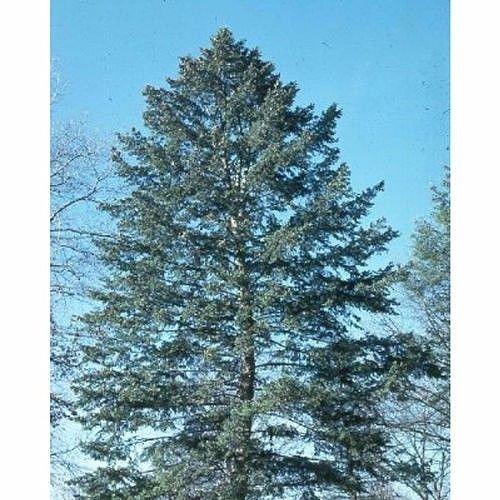 PLAT FIRM GERMINATIONSAMEN: 50 Samen der blauen Douglasie, Pseudotsuga Taxifolia Glauca