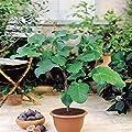 Feigenbaum von Meingartenshop - Du und dein Garten
