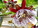 Seedeo Riesengranadilla ( Passiflora quadrangularis) 10 Samen