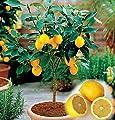 10PCS / BAG Eßbares Obst Meyer Zitrone Samen, exotische Citrus Bonsai Lemon Tree Frische Samen von SVI auf Du und dein Garten