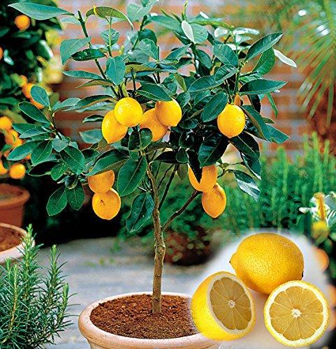 10PCS / BAG Eßbares Obst Meyer Zitrone Samen, exotische Citrus Bonsai Lemon Tree Frische Samen