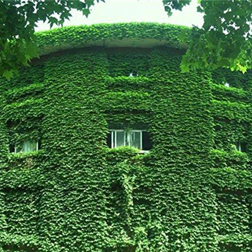 Lierre graine graine grimpante herbe verte paysage escalade feuille anti-rayonnement ultraviolet plante
