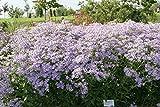 Aster macrophyllus 'Twilight' - 2 Pflanzen im 0,5 lt. Vierecktopf