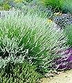 BALDUR-Garten Weißer Lavendel, 3 Pflanzen Lavandula von Baldur-Garten auf Du und dein Garten