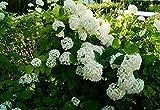 Hortensie Rispenhortensie Limelight Hydrangea paniculata Limelight Containerware 40-60 cm hoch