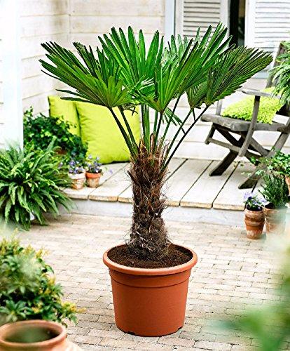 Seltene Palmen Kreuzung Trachycarpus Wagnerianus/Trachycarpus fortunei 50-60 cm. Frosthart bis - 18 Grad Celsius