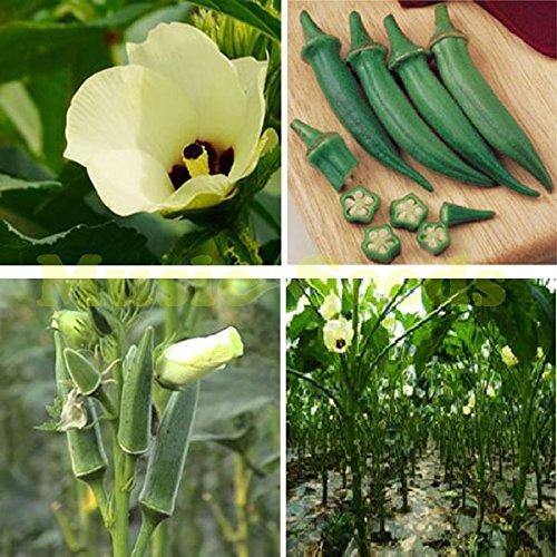 1bag = légume sain 100 pcs gombo graines de légumes rares pour la maison de plantation meilleur de la nature pour la maison jardin plantation plante extérieur
