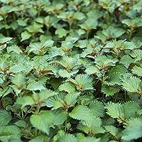 seekay Périlla Vert - Shiso - Japon Basilique - environ 1200 graines