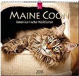 MAINE COON - Amerikanische Waldkatze: Original Stürtz-Kalender 2018 - Mittelformat-Kalender 33 x 31 cm