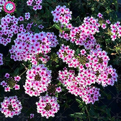 50pcs semillas Semillas raras Verbena hybrida de la verbena Bonsai de flores perennes plantas aromáticas plantas de interior Balcón para jardín 2