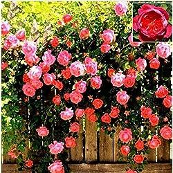100 Semi / Seeds Rose Tree pacchetto Red Heirloom grandi piante rampicanti pianta perenne Rosa Rugosa fragrante Fiori di giardino domestiche bianchi