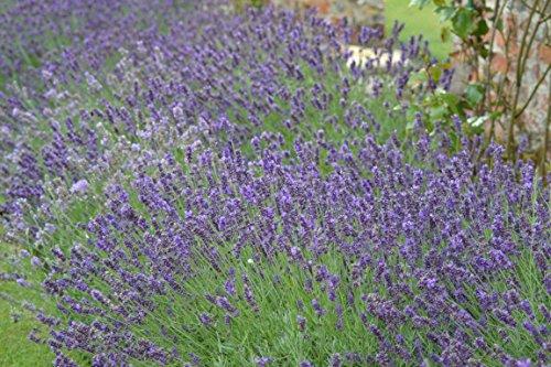Premier Seeds Direct BX-IWEG-ERP1 Lavendel