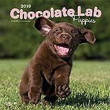 Chocolate Labrador Retriever Puppies - Braune Labradorwelpen 2019 - 18-Monatskalender mit freier DogDays-App (Wall-Kalender)