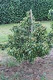 Mini-Birnbaum Pironi® Joy of Kent - 1-jähriges Bäumchen im 5 lt. Topf