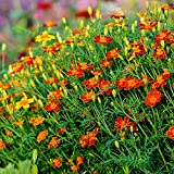 Ringelblume rot Gem Samen - Schmalblättrige Studentenblume
