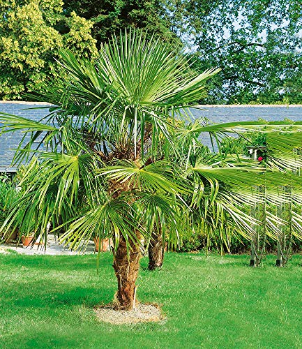 BALDUR-Garten Washingtonpalme, 1 Pflanze Washingtonia Fächerpalme